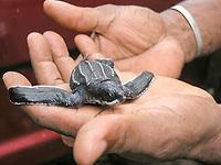 leatherback sea turtle hatchling, Dermochelys coriacea, before release, Dominica, West Indies, Caribbean, Atlantic