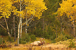 Elk in Cottonwoods at Dawn, Lower Mammoth, Yellowstone National Park, Wyoming