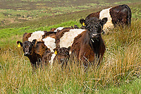 Copyright..John Eveson, Dinkling Green Farm, Whitewell, Clitheroe, Lancashire. BB7 3BN.01995 61280. 07973 482705.j.r.eveson@btinternet.com.www.johneveson.com.Belted Galloway cattle.