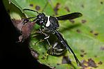 Potter Wasp (Eumenes fraternus), Lexington Wildlife Management Area, Oklahoma, USA
