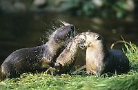 Fischotter, Jungtiere spielen miteinander, Fisch-Otter, Otter, Lutra lutra, river otter