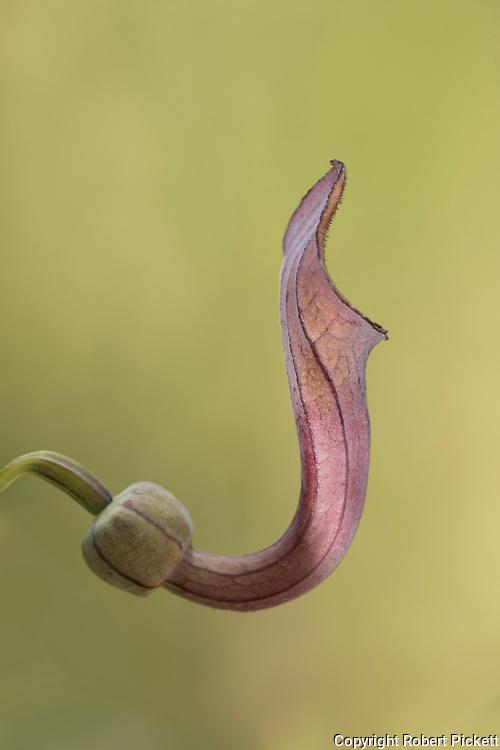 Andalusian Dutchman's Pipe or Pipe Vine, Aristolochia baetica, Ria Formosa East, Algarve, Portugal, poisonous perennial vine
