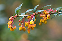 Barberry (Berberis x lologensis (B. darwinii x B. linearifolia)), late March. From southern South America.