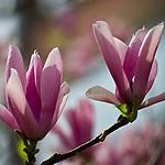 180414: Blooming magnolias