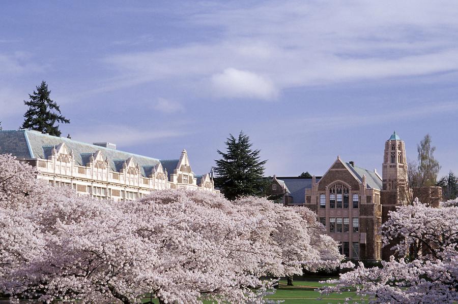 University of Washington Liberal Arts Quadrangle cherry trees in bloom, Seattle, Washington