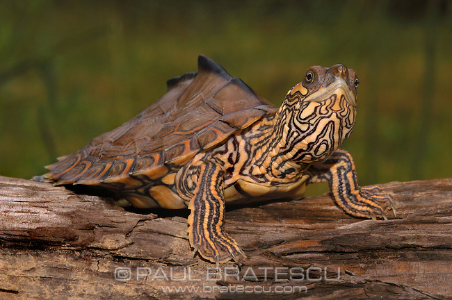 Pascagoula, Pearl River Map Turtle (Graptemys gibbonsii)