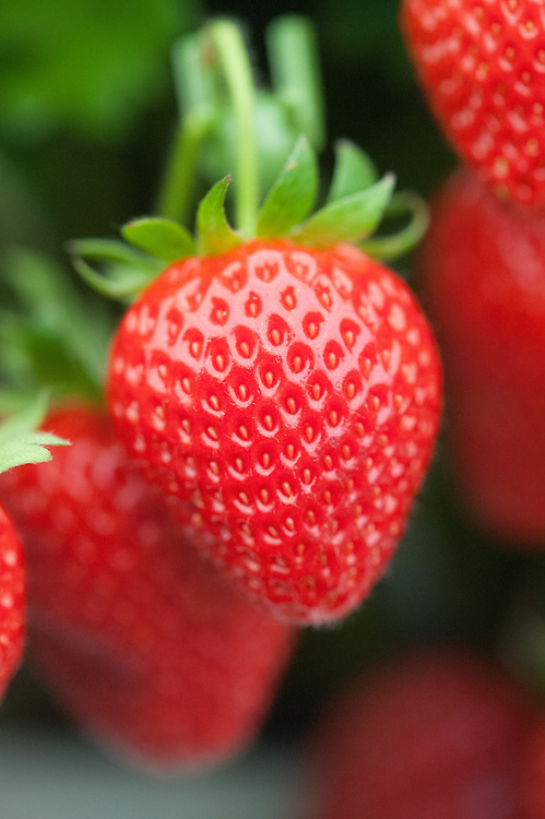 Strawberry 'Hapil', a heavy-cropping, early to mid season variety.