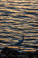 At sunset, the rippling water glows with golden light while a Snowy egret explores the rocky shoreline at the San Leandro Marina Park along San Francisco Bay.