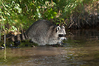 """Waschbär, etwa 5 Monate altes Jungtier sammelt Erfahrungen mit dem Element Wasser, Männchen, Rüde, Waschbaer, Wasch-Bär, Procyon lotor, Raccoon, Raton laveur, """"Frodo"""""""