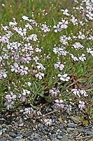 Kriechendes Gipskraut, Gips-Kraut, Teppich-Schleierkraut, Schleierkraut, Gypsophila repens, Alpine Gypsophila, Gypsophile rampante