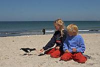 Kinder füttern Austernfischer am Strand aus der Hand, Austern-Fischer, Haematopus ostralegus, Oystercatcher, Huîtrier pie