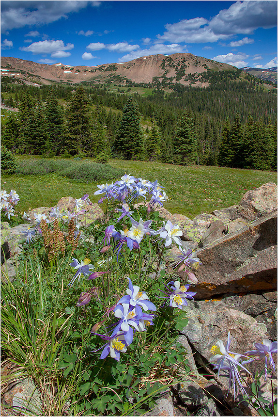The walk up to Butler Gulch is only about 4 or 5 miles, and your work in summer months is rewarded when you reach the bowl at the top with fields of Colorado wildflowers. This image of Colorado shows Columbine dancing gracefully in the morning breeze.