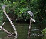 Yellow-crowned Night Heron adult and chick perched on snag in river in Costa Rica.