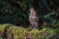 Male Ruffed Grouse (Bonasa umbellus) resting between drumming performances on drumming log. Springtime mating/territorial display.  Pacific Northwest.  March/April.