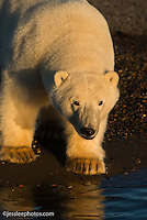 Polar bear on the shore of the Beaufort Sea.  Alaska
