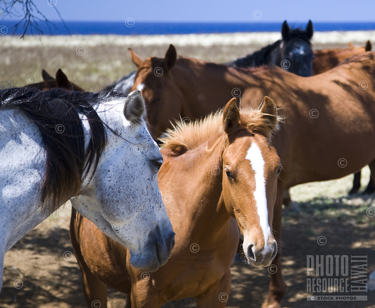 Close up view of horses in pasture at South Point, Big Island of Hawaii
