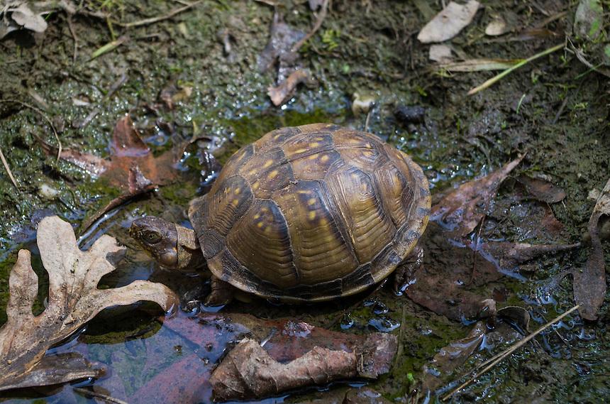 A female box turtle.<br /> <br /> http://en.wikipedia.org/wiki/Box_turtle