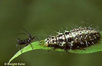 1L23-023b  Green Lacewing larva eating aphid -  Chrysopa spp.