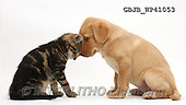 Kim, ANIMALS, REALISTISCHE TIERE, ANIMALES REALISTICOS, fondless, photos,+Tabby kitten, Picasso, 9 weeks old, head to head with cute Yellow Labrador puppy, 8 weeks old,++++,GBJBWP41053,#a#