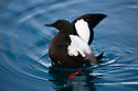 Norway, Svalbard, black guillemot, Cepphus grylle