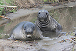 Elephant seal weaners.  Ano Nuevo State Park, CA.  2-19-12  Frank Balthis