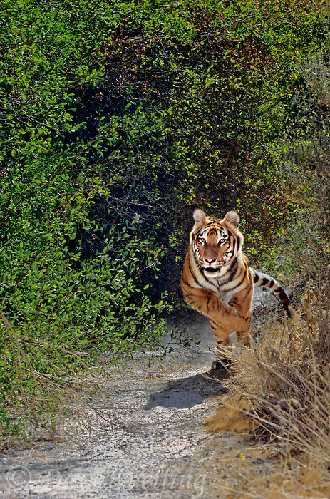 683999286 a young captive Bengal Tiger Panthera tigris Running through Brush Native to the Indian Subcontinent