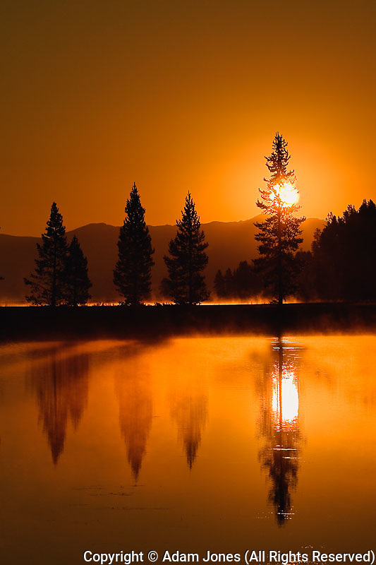 Sunrise and silhouetted Lodgepole pine trees, Pinus contorta, Yellowstone National Park, Wyoming