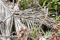 0626-1116  Camouflaged Black Spiny-tailed Iguana (Black Iguana, Black Ctenosaur), On Half-moon Caye in Belize, Ctenosaura similis  © David Kuhn/Dwight Kuhn Photography
