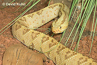 0511-1102  Neotropical Rattlesnake (South American Rattlesnake), Crotalus durissimus  © David Kuhn/Dwight Kuhn Photography