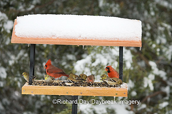 00585-03419 Northern Cardinals males, House Finch & American Goldfinches on tray feeder in winter, Marion Co. IL