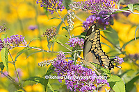 03017-01103 Giant Swallowtail butterfly (Papilio cresphontes) on Butterfly Bush (Buddlei davidii),  Marion Co., IL