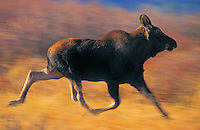 Moose yearling (Alces alces) running. Moose can run at speeds up to 35 mph. Autumn. Grand Teton National Park, Wyoming.