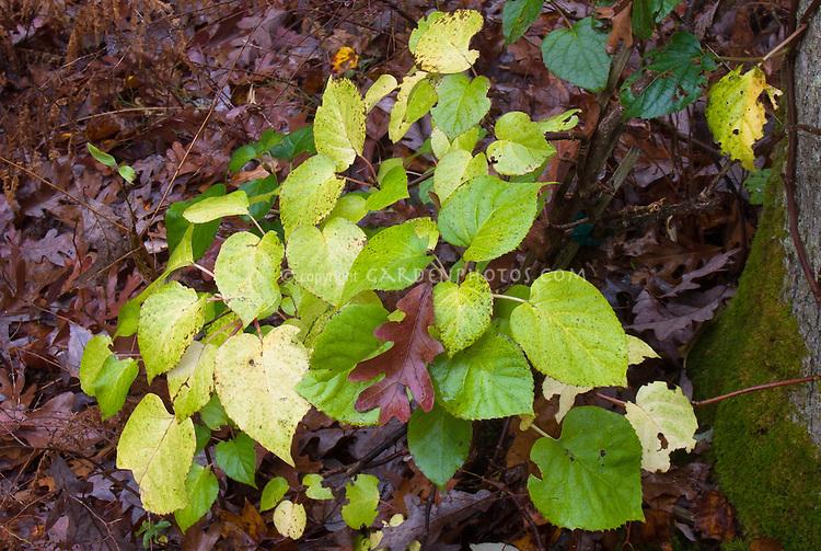 Schizophragma Moonlight vine climbing a tree in autumn fall foliage in woodland shade garden