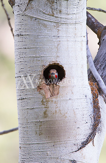 A male northern flicker peers out of its nest hole.