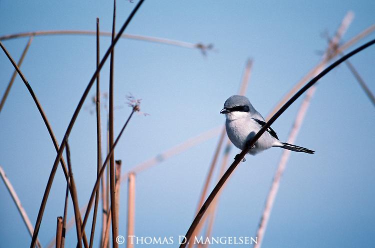 Loggerhead Shrike perched among reeds.