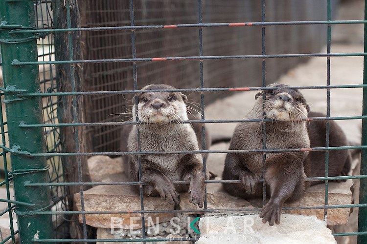 Anthony Matone, owner of Wa-To-Go Exotics, has otters along with 2 wolves in a habitat he built on his nearly 250-acre ranch near Mountain Home, Texas. Although Matone lives 39-miles from the nearest town, he no longer has a mountain lion because it is considered dangerous. ..Ben Sklar