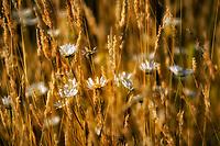 Wild daisies (chrysanthemum leucanthemum).and grasses Graham Oaks Nature Preserve. Wilsonville, Oregon