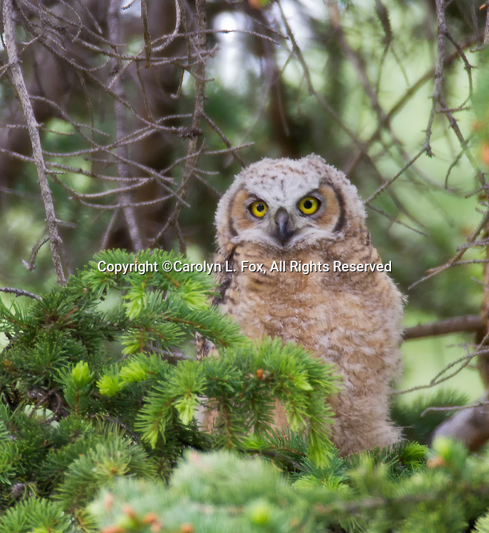 A baby Great Horned Owl sits in a tree in Yellowstone National Park.