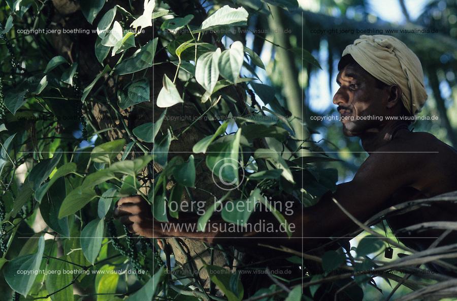 INDIA Karnataka Taccode, pepper harvest, farmer plucks green pepper berry, after harvest they will be dried in the sun / INDIEN Karnataka, Anbau von Pfeffer, Ernte von gruenen Pfefferbeeren, nach der Ernte, werden sie in der Sonne getrocknet bis sie schwarz werden