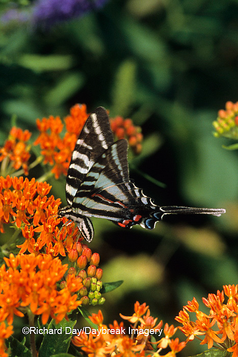 03006-00114 Zebra Swallowtail (Eurytides marcellus) on butterfly weed (Asclepias tuberosa)   IL