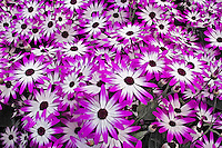 Flower pattern, Kuekenhof Gardens, Lisse, Netherlands, Holland