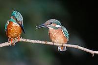 Eisvogel, Eis-Vogel, Eisvögel, Alcedo atthis, Kingfisher, Martin-pêcheur d'Europe