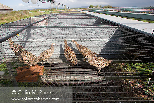 Young birds being kept in a raised cage laying unit used for breeding and maturing pheasants at Hy-Fly Hatcheries, a company based in Preesall, near Blackpool, Lancashire which specialises in breeding partridge and pheasant to be sold to sporting estates. The partridges are kept in small cages for up to three years while they mature before being sold. Pheasants are also kept in cages but are transferred to outdoor pens as they mature. The company, which is owned by Ray Holden, produces around three million day-old chicks per year.