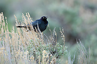 Male Brewer's Blackbird (Euphagus cyanocephalus). Sublette County, Wyoming. May.