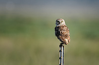 Burrowing Owl, Texas roadside south of Fort Stockton
