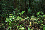 Understorey of Jungle Forest, Primary Rainforest, Iquitos, Peru, flood area of Rio Tigre River, Amazonian, green leaves and shrubs, trees,. .South America....