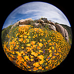 Escondido, California; a circular view of a field of California Poppies amongst large rocks on a hillside on a sunny afternoon