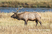 01980-03019 Elk (Cervus elaphaus) bull male, Yellowstone National Park, WY