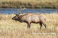 01980-03019 Elk (Cervus elaphaus) bull male, Yellowstone National Park, WY