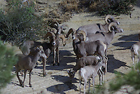 Desert Bighorn Sheep seen in southern Utah's Zion Nat. Park on a summer day.
